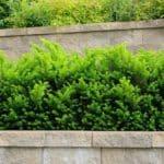 Die Eibe (Taxus) - Beschreibung, Pflege und mehr