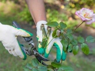 Rose wird mit Gartenschere abgeschnitten